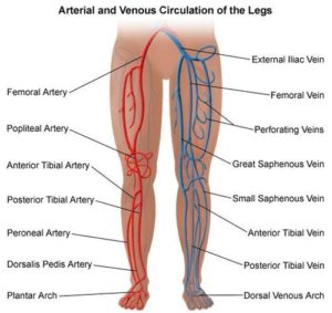 blood supply - legs
